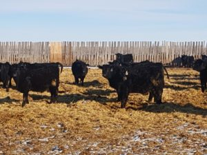 Presorted All Breeds Calf & Yearling Sale Featuring Duckworth Ranch 11:00 a.m. Feb. 25, 2020